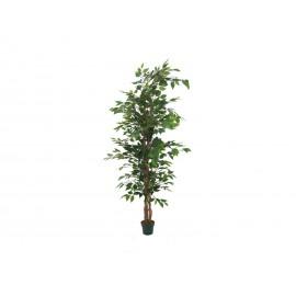 Ficus tree, 150cm