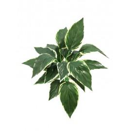 Hostaceae výhonek zel./bílá 50cm