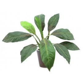 Sago palmovník, 45 cm